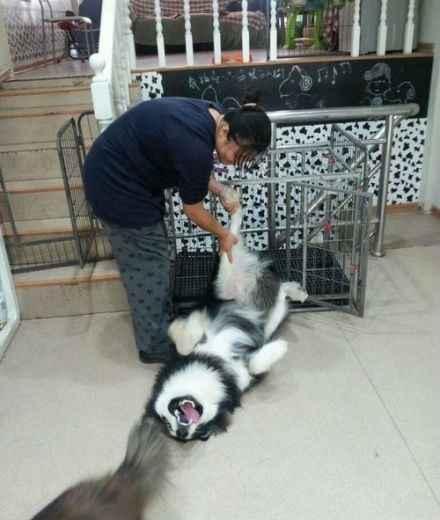 宠物店里,狗狗不愿进笼子,于是各种耍赖,尽显二货本色。