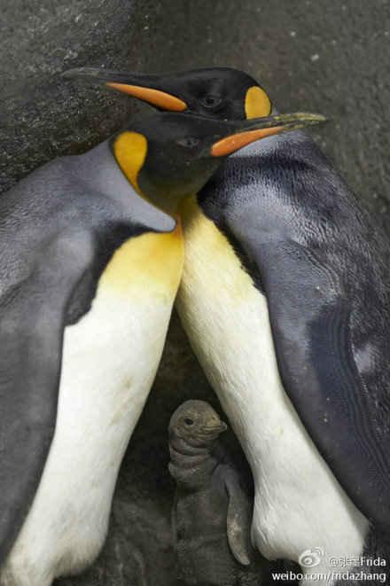 丹麦一动物园传出绯闻,一对gay企鹅当爸爸了!起因是一女企鹅睡了两只男企鹅产下两个蛋,但这只禽兽女企鹅一个都不想要,一个蛋扔给了第一只男企鹅让他自己孵,第二个蛋男企鹅也不想要,于是管理员不得不为它找了一对gay企鹅组建新家庭.目前两男企鹅一个孵蛋一个觅食其乐融融,女企鹅仍逍遥法外.