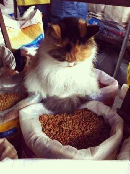 早市某摊位一只蹲坐在猫粮堆上打瞌睡的胖子。。。。