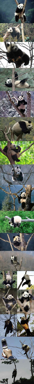 【当熊猫遇到树】国宝兄,你屁屁疼不~真是各种萌姿啊有木有~