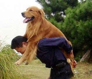 """在小区散步,看见一个男人背着一只金毛,对,没错,是金毛,就是那种长的好大的狗狗。他娘目瞪口呆....在人家走过去之后还是忍不住说:""""咋背着呢,这怎么背得动,让它自己走啊""""。男人回过头来认真地解释:""""它17岁了,走不动了,就背出来让它看看外面,它高兴"""" 。。。"""
