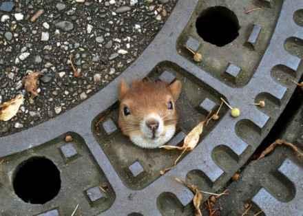 【`・ω・´小松鼠被困窨井盖】一位德国人开车时差点就压到这个小家伙,司机立马联系警察,可就是弄不出来……最后一位主妇拿出了橄榄油润滑才救了它