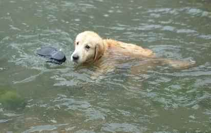 在这次7.21暴雨灾难中,在房山区大石窝地区涌现一条勇于救援的金毛猎犬。据当地村民说,这条金毛猎犬在湍急的洪水中叼拾灾民的物品,反复的上岸下水上岸下水,这张图片是它在帮助被困灾民叼起掉在水中的鞋,据说它已连续工作了18个小时都没休息。(via 秤砣-network)