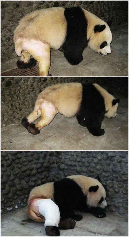 一熊猫因打群架造成腿骨折,为方便治疗所以将伤处绒毛全部剃光。不穿裤子的熊猫好可爱啊!国宝,我对不起你,因为我笑了。。