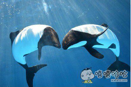 熊猫海豚你见过吗?日本横滨,当地八景岛海岛乐园海洋生物馆内迎来一对黑白海豚,也叫熊猫海豚。