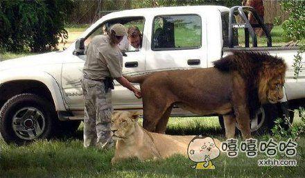 老虎屁股摸不得,狮子可以