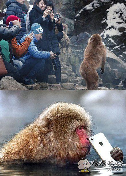 一只日本猕猴长期被游客拍来拍去,心生厌烦,于是作为报复,一把抢过游客的苹果手机,然后扔进了温泉池里,被抢的游客心里阴影面积不可估量。。。