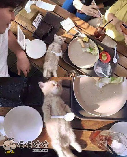 一只在餐桌上吃着吃着就睡着了的喵咪