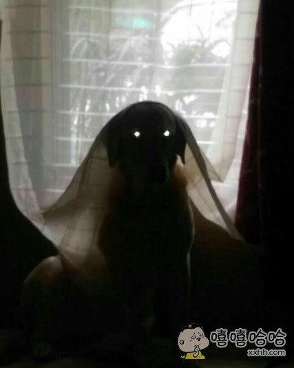 家里的汪星人躲在窗帘下,以为这样躲起来别人就看不到它,觉得汪星人这样好蠢萌,便帮它拍了张照片,看到照片后差点吓死了。。。