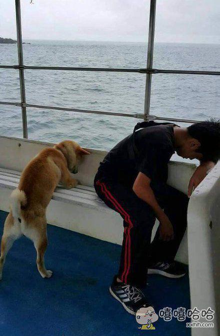 一只第一次坐轮船的柴犬宝宝,然后,晕船了。。。