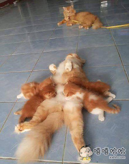 猫麻麻每次给小猫喂奶的时候,猫粑粑总是来抢奶喝……对不起,只好把你拴起来了