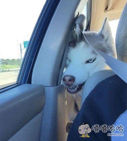 开车的时候,一转头,差点被二哈吓死了