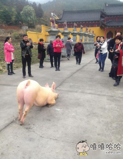 这张图让我明白猪比人都虔诚
