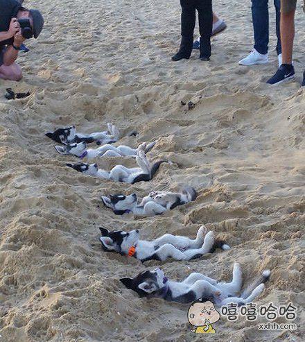 夏天,真是一个能在海边沙滩中收获哈士奇的季节啊~