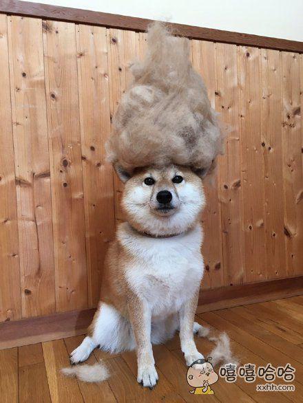 柴犬脱毛,给它做顶帽子