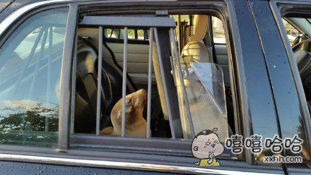 一只小海狮最近误闯校园,被警察逮住后,扣留在了车上,结果它一副傲娇样子,很像是,你们关得住我的body,但关不住我的心!