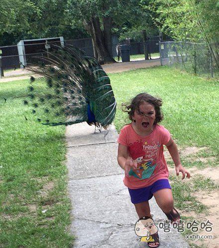 孔雀在开屏,5岁小女孩靠近去看,孔雀转身大叫,小朋友吓的带泪奔跑