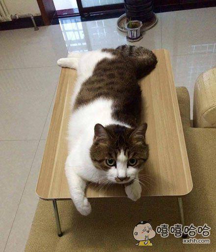 买了个小桌子被这货看中并长期霸占了,可以不用弯腰就能揉到猫了。