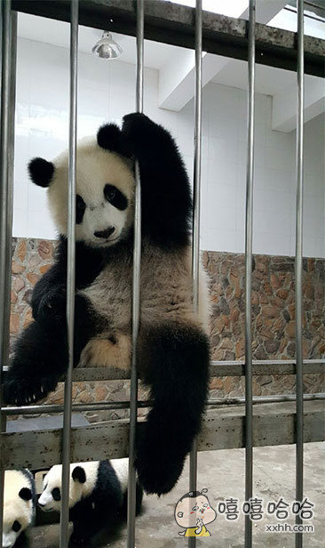 一只试图越狱的熊猫