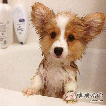 某家柯基宝宝第一次洗澡。湿身懵逼的样子萌化了
