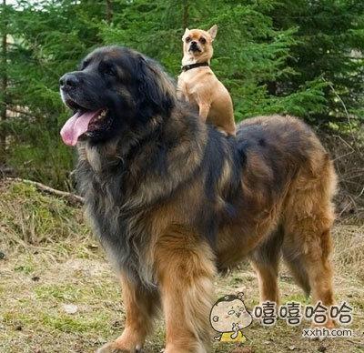 吉娃娃骑在大狗狗的身上,有一种向全世界宣布:这只坐骑被我承包了的王者风范!!!