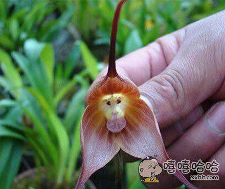 """据说此花就是传说中的""""猴子兰花"""""""