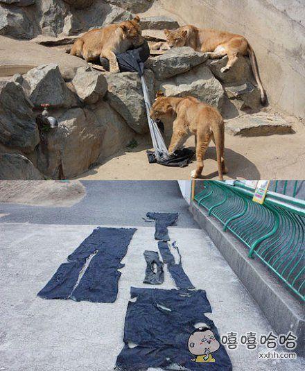 设计师为动物园里的狮子老虎等猛兽