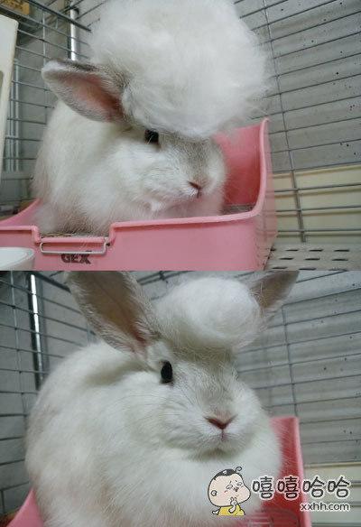 换毛期的兔子真的很好玩
