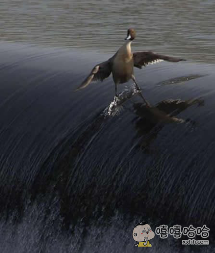 这货以为自己在冲浪吗?