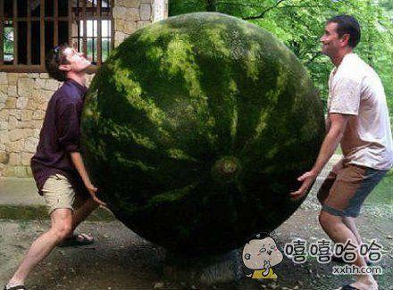 这个西瓜算得上世界之最了。