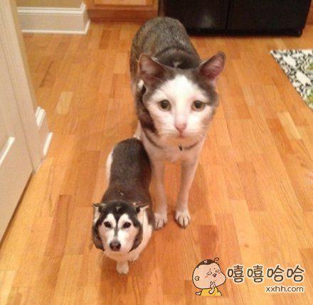 一网友用换脸app给自家的猫和狗玩了一下,哈哈哈哈哈毫无违和感