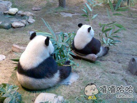 两只有心事的熊猫