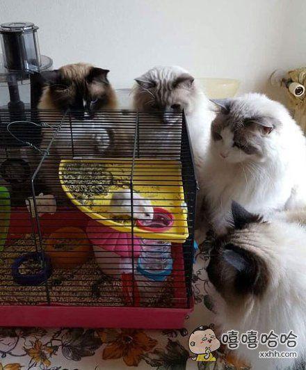 朋友家养的四只猫与一只老鼠,求老鼠心理阴影面积!!