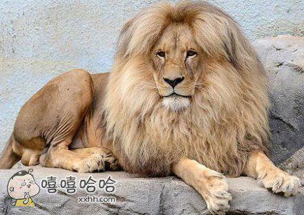 这是捷克一家动物园的明星狮子Leon,因为中分的发型走红。这个蓬松的发质和犹豫的眼神,也是透着浓浓的摇滚气质