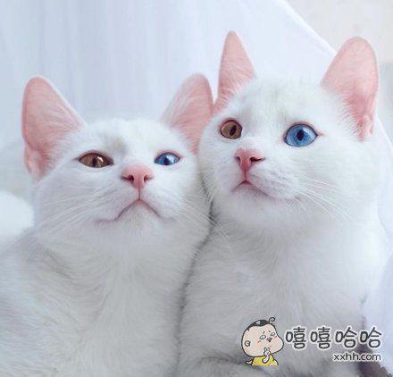 异色瞳双子猫咪