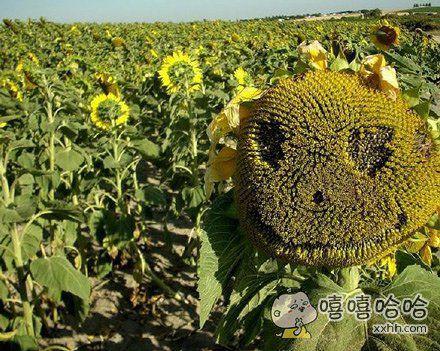 植物大战僵尸的太阳花被感染后。。。