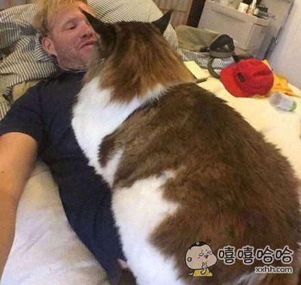 Samson。。。。它号称世界上体型最大的一只猫。。。。。身长1。2米,体重13公斤。。。。。。。当它趴在主人的那一刻,这架势。。。。