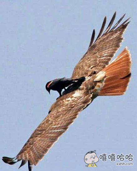 驾驭老鹰。。。