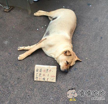 """香港一家零食铺养的汪,因为睡得太沉不管多少人经过都不会醒,引来很多好心路人报警""""救援"""",于是无奈的店家立了这样一个牌子"""