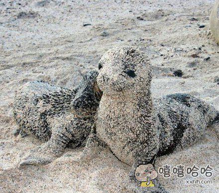 海狮常常会上岸在沙滩上嬉戏玩耍,为了防止被猛烈的太阳晒伤,可爱的小海狮会在沙子上滚啊滚,在自己的身体上裹上一层沙子以防晒伤。裹上沙子的小海狮简直不要太萌,这真的不是糯米糍吗。。