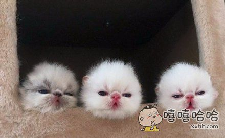 网友家的母喵最近生了宝宝,要被这三块糯米团子萌死了。。。