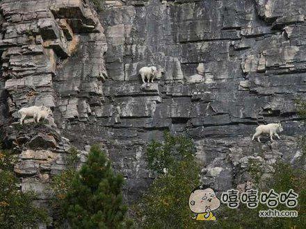 真正的山羊