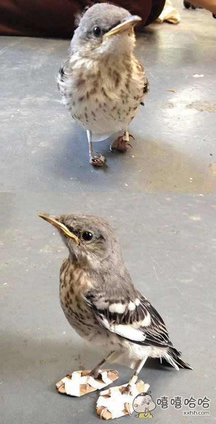 美国一家动物保护中心最近收留了一只生病的小鸟,小鸟因为脚部弯曲症没办法正常站立,于是大家给它做了一双矫正鞋~萌哭