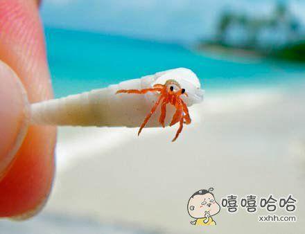 在海滩边捡到的超萌小寄居蟹