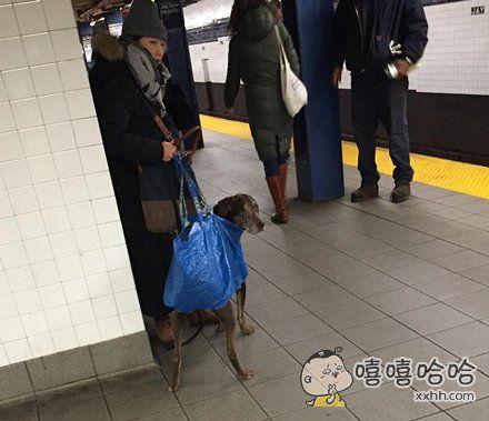 纽约地铁日前颁布禁令,禁止带狗乘坐,除非把它们装包里。 这个主人的包似乎不够结实啊!!!