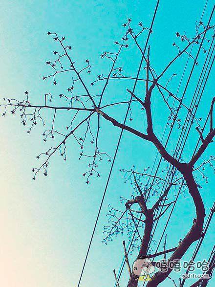 家附近有棵青桐,落叶后树上结满了星星
