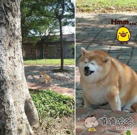 一网友偶遇一只幸福肥到睁不开眼的秋田,这体型一看就是奶奶带大的
