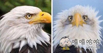 这可能就是白头鹰只有侧脸照的原因了