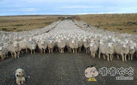 牧羊犬的气场,随便感受一下
