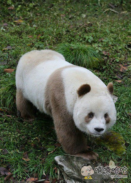 全球唯一棕色大熊猫,太可爱了,国宝中的国宝~